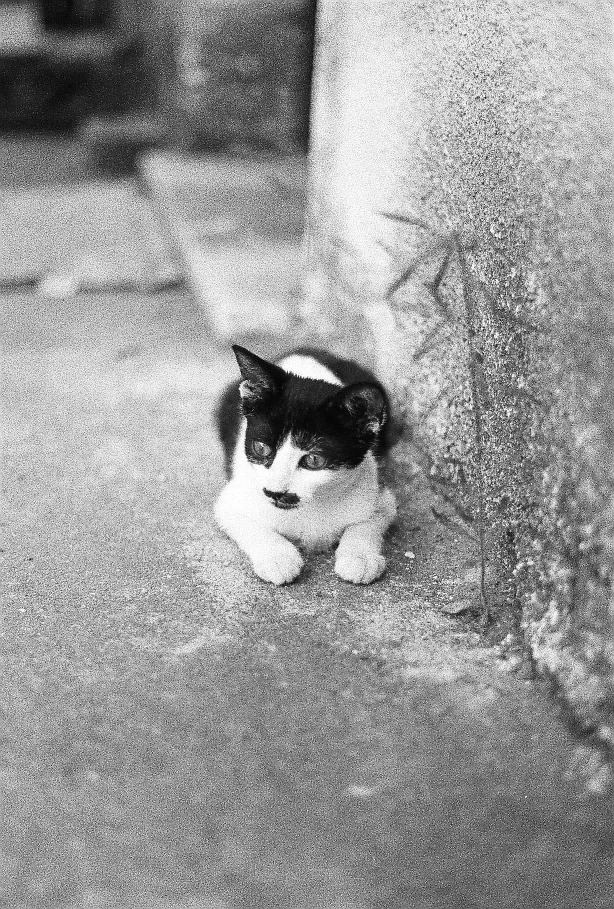 Belgrade Kitten