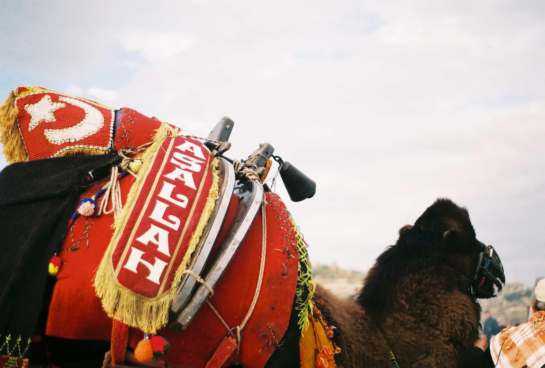 Mashallah Camel (camel wrestling festival)