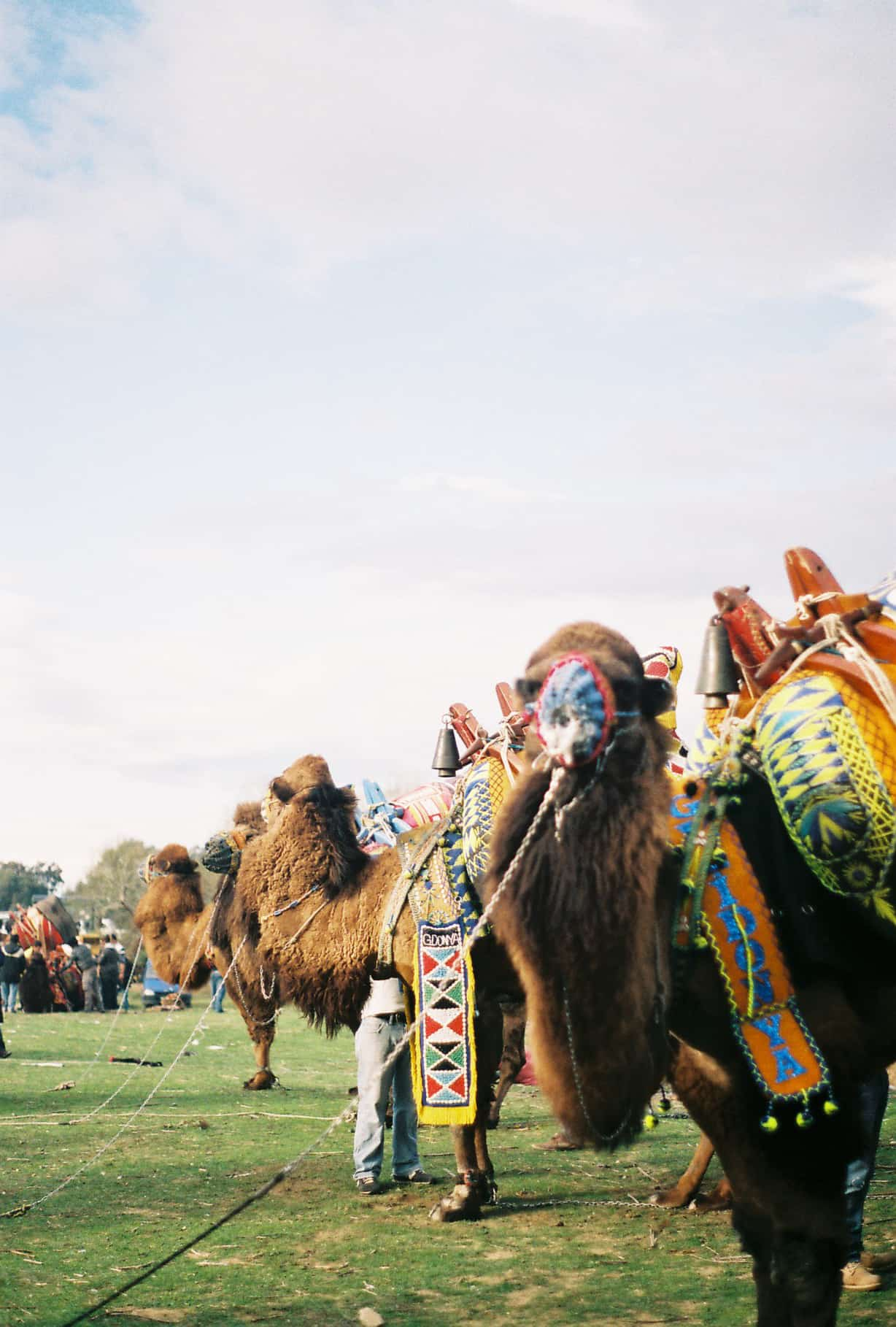 Camels (camel wrestling festival)