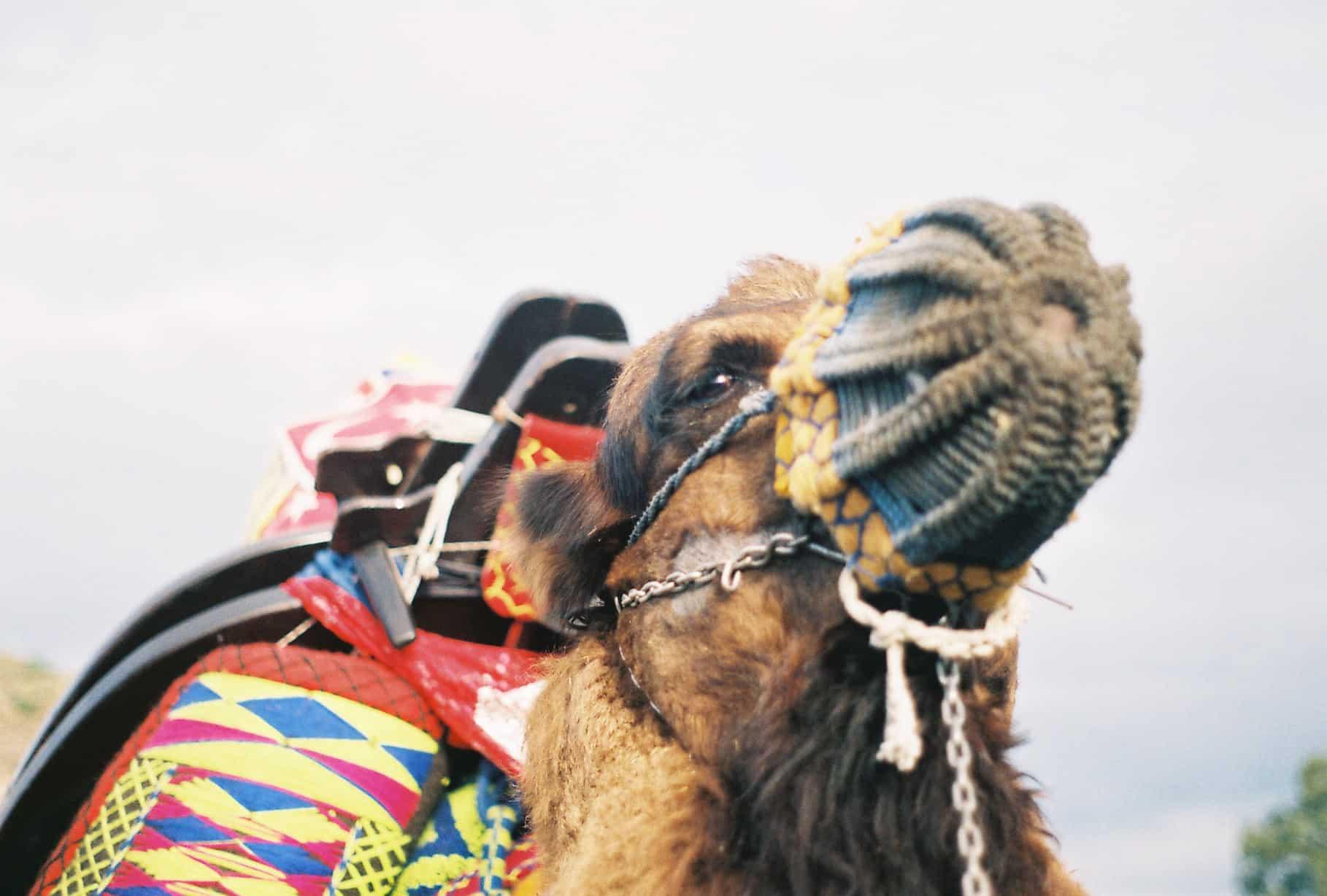 Glorious Camel (camel wrestling festival)