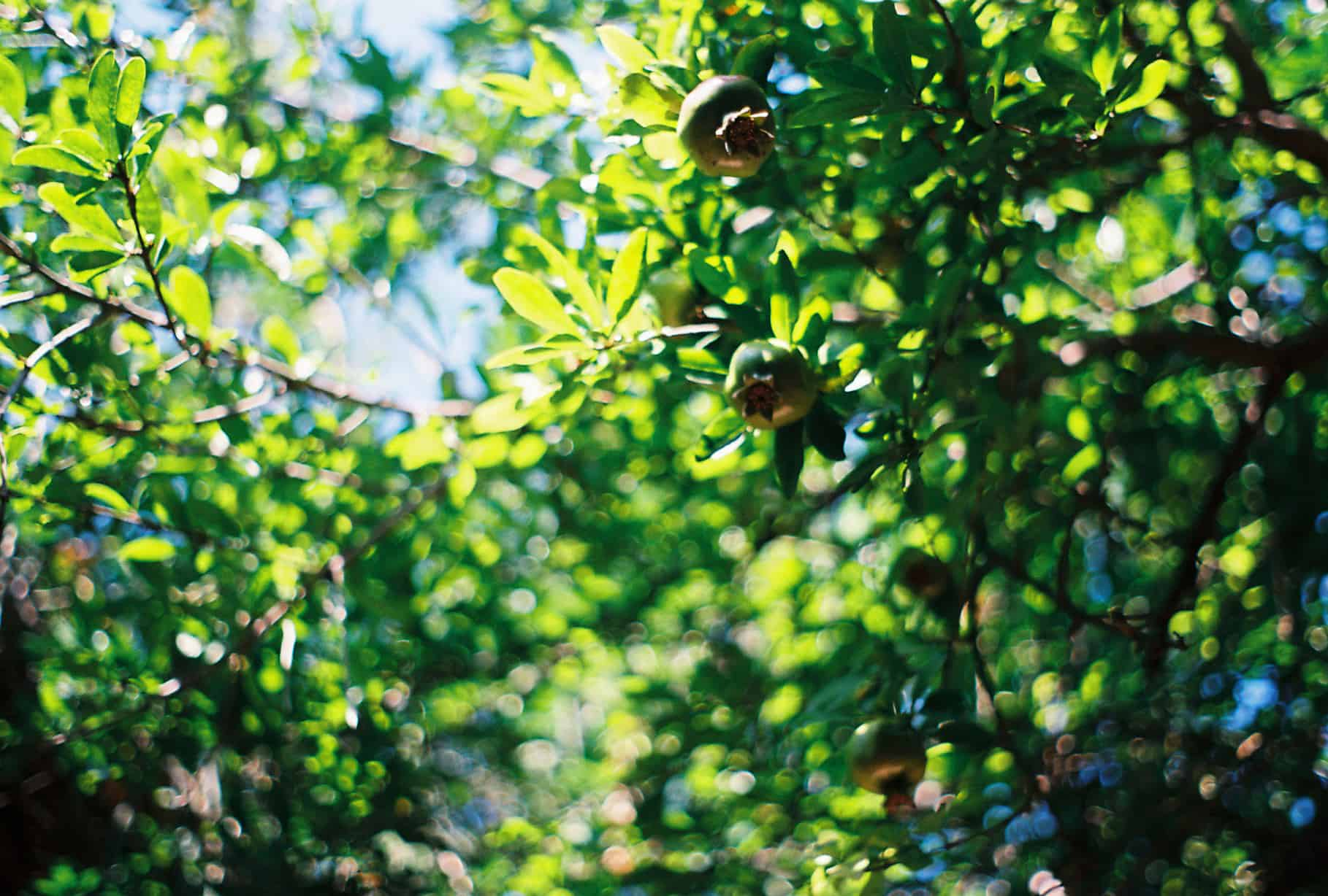 Green Pomegranates Kabak Valley